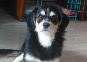 寻狗启示,快过年了 我们在等她回家,它是一只非常可爱的宠物狗狗,希望它早日回家,不要变成流浪狗。