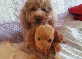 寻狗启示,浅黄色泰迪公狗丢失时身上没有衣物和挂件刚剪完毛发,它是一只非常可爱的宠物狗狗,希望它早日回家,不要变成流浪狗。