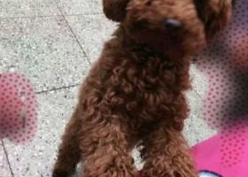 寻狗启示,自己可爱的泰迪犬丢失!,它是一只非常可爱的宠物狗狗,希望它早日回家,不要变成流浪狗。