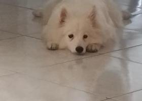 保定市华电一校附近丢失白色银狐犬一只