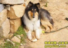 寻狗启示,福建莆田秀屿区东峤镇上塘村寻狗,它是一只非常可爱的宠物狗狗,希望它早日回家,不要变成流浪狗。