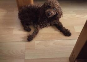 寻狗启示,2月23日在秦皇岛海港区和平大街交叉口捡到泰迪公犬一只,它是一只非常可爱的宠物狗狗,希望它早日回家,不要变成流浪狗。