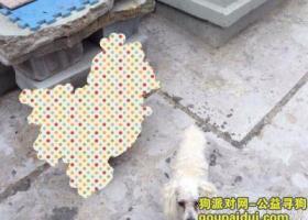 寻狗启示,山东省德州市王凤楼镇后何战屯村里丢失一只卷毛型的白狗,它是一只非常可爱的宠物狗狗,希望它早日回家,不要变成流浪狗。
