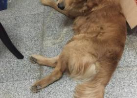 寻狗启示,2015年2月24日下午有谁在晋江福铺捡到一条金毛,它是一只非常可爱的宠物狗狗,希望它早日回家,不要变成流浪狗。