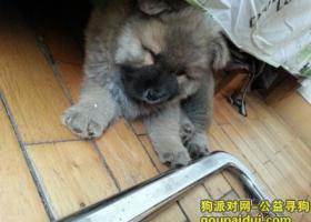 寻狗启示,胜利广场附近丢失一只棕黄色小松狮,它是一只非常可爱的宠物狗狗,希望它早日回家,不要变成流浪狗。