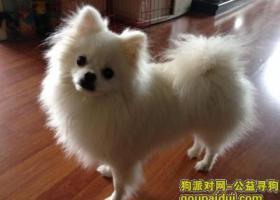 4000元急寻白色博美公犬