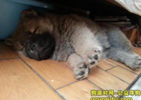 寻狗启示,找寻一只两个月大小的棕黄色小松狮,它是一只非常可爱的宠物狗狗,希望它早日回家,不要变成流浪狗。