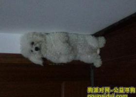 郑州市福元路玉凤路附近3月1日上午11点左右走失一直白色比熊,头上毛多一些,身上毛比较短
