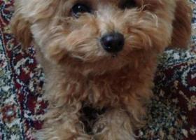 寻狗启示,西四路聚龙亨附近走失一只泰迪狗香槟色偏浅色颜色,它是一只非常可爱的宠物狗狗,希望它早日回家,不要变成流浪狗。