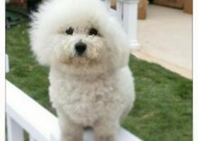 寻找爱犬比熊诺诺于三月六日在河南新乡平原博物院丢失