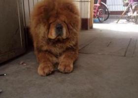 涉县走失爱犬成色很纯的松狮犬经常在摊里交通岗活动