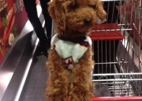 寻狗启示,寻找泰安满庄镇北迎路口丢失的棕色小泰迪,它是一只非常可爱的宠物狗狗,希望它早日回家,不要变成流浪狗。