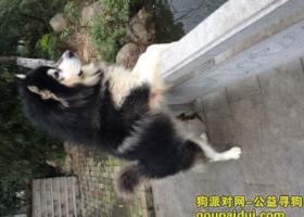 本人一爱狗丢失 阿拉斯加雪橇犬