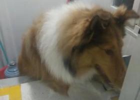 寻狗启示,牧羊犬苏牧无人认领。。。。,它是一只非常可爱的宠物狗狗,希望它早日回家,不要变成流浪狗。