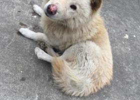 寻狗启示,东莞塘厦捡到一只大黄白色狗,它是一只非常可爱的宠物狗狗,希望它早日回家,不要变成流浪狗。