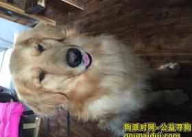 寻狗启示,山东烟台丢失成犬金毛一只十分着急,愿好心人收留送回,它是一只非常可爱的宠物狗狗,希望它早日回家,不要变成流浪狗。