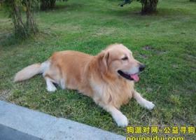 寻找一只颈部有红颜色的金毛犬