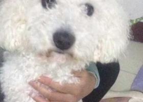 这个狗狗叫豆豆,在山东济南市石桥小区菜市场附近丢失