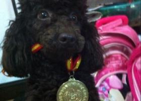 寻狗启示,江苏扬州大学寻找贵宾犬,它是一只非常可爱的宠物狗狗,希望它早日回家,不要变成流浪狗。