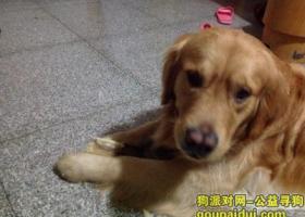 寻狗启示,河南省三门峡市湖滨区金毛丢失,急切寻找,它是一只非常可爱的宠物狗狗,希望它早日回家,不要变成流浪狗。