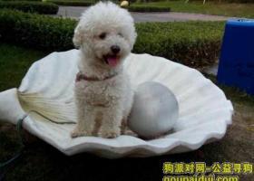京东燕郊燕顺路附近丢失白色比熊,公,3岁