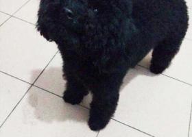 找狗!黑色泰迪,在海曙区胜丰路胜丰小区附近走丢。