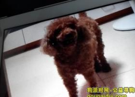 棕色贵宾犬在天河北丢失