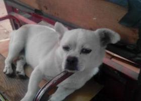 寻狗启示,泰安市宁阳县北关市场小狗走失,它是一只非常可爱的宠物狗狗,希望它早日回家,不要变成流浪狗。