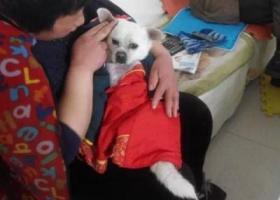 寻狗启示,公狗,五岁,全身白色,它是一只非常可爱的宠物狗狗,希望它早日回家,不要变成流浪狗。