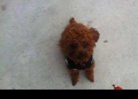 寻狗启示,寻狗启示:红色泰迪一岁半,它是一只非常可爱的宠物狗狗,希望它早日回家,不要变成流浪狗。