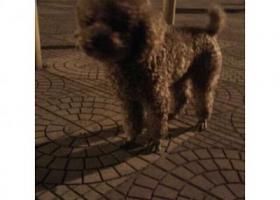 寻狗启示,鲤城区钟楼附近丢失一只贵宾犬,名叫屁屁,它是一只非常可爱的宠物狗狗,希望它早日回家,不要变成流浪狗。