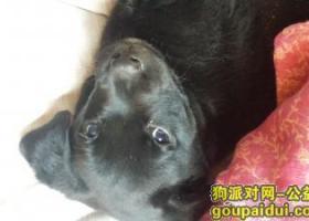 爱狗丢失,黑色拉布拉多,两个月大
