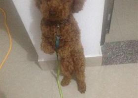 寻狗启示,贵宾犬丢失,名叫屁屁,它是一只非常可爱的宠物狗狗,希望它早日回家,不要变成流浪狗。