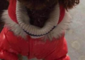 寻狗启示,【寻狗启示,酬金2000】找如图红色贵宾,好人一生平安!!!联系电话:13805741567,它是一只非常可爱的宠物狗狗,希望它早日回家,不要变成流浪狗。
