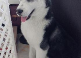 寻狗启示,赤峰亚兴国际跑丢一只黑白相间哈士奇,急寻!,它是一只非常可爱的宠物狗狗,希望它早日回家,不要变成流浪狗。