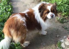 寻找我心爱的狗狗,一只身长40cm,体重15斤的蝴蝶犬
