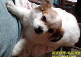 请好心人帮我寻一只小型白色京巴狗