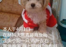湖南长沙林科大常青藤商业街走失黄色小狗狗一只