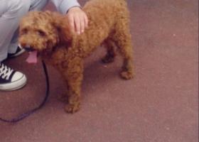 寻狗启示,找泰迪,求好心人帮忙。,它是一只非常可爱的宠物狗狗,希望它早日回家,不要变成流浪狗。