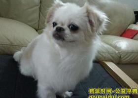 深圳福田区北环天桥附近丢失白色黄毛串串长毛吉娃娃