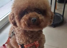 寻狗启示,泉州大坪山走失名叫奇奇红棕色小型玩具贵宾,它是一只非常可爱的宠物狗狗,希望它早日回家,不要变成流浪狗。