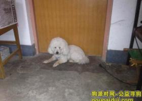 浆水泉路南段捡到白色贵宾公犬