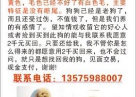 寻狗启示,(浙江金华)寻泰迪犬,电话13575988007,它是一只非常可爱的宠物狗狗,希望它早日回家,不要变成流浪狗。