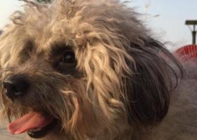 寻狗启示,四月十日晚11点火炬南路丢失灰色泰迪 重金寻回 主人已崩溃,它是一只非常可爱的宠物狗狗,希望它早日回家,不要变成流浪狗。