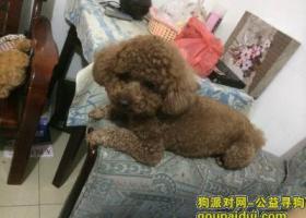 寻狗启示,棕色泰迪犬小型犬体重8斤多,它是一只非常可爱的宠物狗狗,希望它早日回家,不要变成流浪狗。