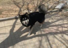 长治潞安颐龙湾门外附近丢失一只黑白色雌性阿拉斯加爱犬一条