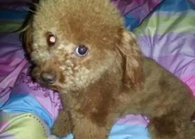 寻狗启示,柳市镇长江路泰迪犬丢失。,它是一只非常可爱的宠物狗狗,希望它早日回家,不要变成流浪狗。