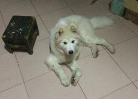 寻狗启示,4.29洸河常青路附近丢失公白色5个月萨摩耶有绿色胸带,它是一只非常可爱的宠物狗狗,希望它早日回家,不要变成流浪狗。
