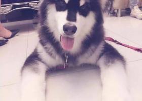寻狗启示,5月1日湖州南浔齐欣宠物店门口走失4个月大阿拉斯加一只,它是一只非常可爱的宠物狗狗,希望它早日回家,不要变成流浪狗。