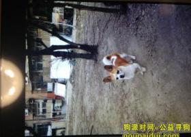 天津市南开区航天北里附近丢失一条黄白花狗  丑丑快回家